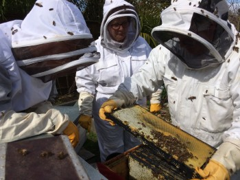 Examining the hive, looking for the queen and any signs of desease.